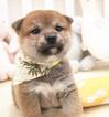 Shiba Inu Puppy For Sale in SAN JOSE, CA, USA