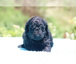 Small #33 Poodle (Standard)
