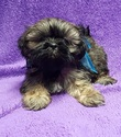 Shih Tzu Puppy For Sale in BUFFALO, MO, USA
