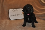 Labradoodle Puppy For Sale in DYERSBURG, Tennessee,