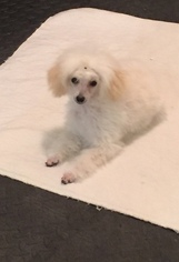 Poodle (Toy) Puppy For Sale in ALLINGTOWN, CT, USA