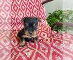Puppy 1 Silky Terrier