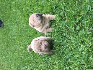 Chinese Shar-Pei Puppy for sale in MILWAUKEE, WI, USA