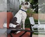 Small #7 German Shorthaired Pointer Mix