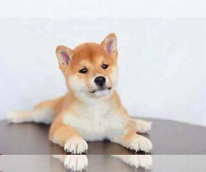 Shiba Inu Puppy for sale in WOODINVILLE, WA, USA