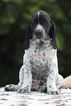 Auvergne Pointer Puppy For Sale in CAMARILLO, CA