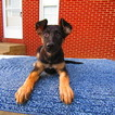 German Shepherd Dog Puppy For Sale in NEW HAVEN, IN, USA