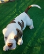 Puppy 5 American Bulldog