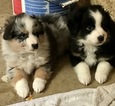 Australian Shepherd Puppy For Sale in LAKEVILLE, Minnesota,