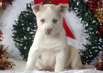Siberian Husky Puppy For Sale in MOUNT JOY, PA,