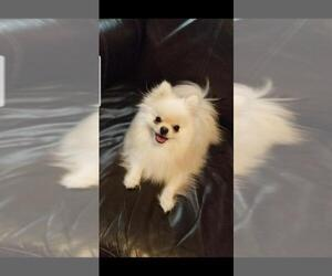 Pomeranian Puppy for sale in FORT WORTH, TX, USA