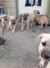 Black Mouth Cur Puppy For Sale in SARAGOSA, TX