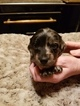 Dachshund Puppy For Sale in SPRING CITY, TN, USA