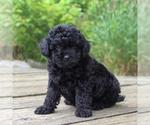 Small #1 Yorkie-Poo