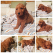 Golden Retriever-Goldendoodle Mix Puppy For Sale in BALLWIN, MO, USA
