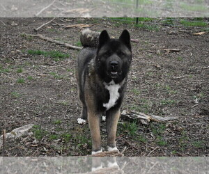 Akita Puppy for Sale in LICKING, Missouri USA
