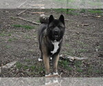 Small Photo #1 Akita Puppy For Sale in LICKING, MO, USA