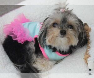 Yorkshire Terrier Dog for Adoption in HOUSTON, Texas USA