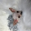 Chihuahua Puppy For Sale in HOUSTON, TX, USA