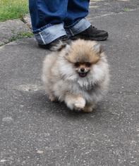 Pomeranian Puppy For Sale in SALEM, OR
