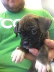 Boxer Puppy For Sale in CLARKSVILLE, TN