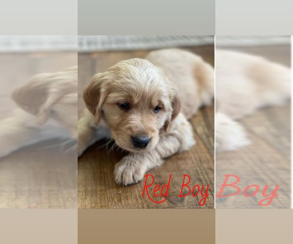 Medium Photo #11 Golden Retriever Puppy For Sale in ROGERSVILLE, MO, USA