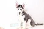 Siberian Husky Puppy For Sale in NAPLES, FL