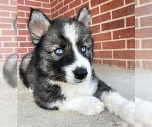 Siberian Husky Puppy for Sale in CO SPGS, Colorado USA