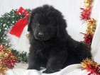 Newfoundland Puppy For Sale