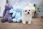 Maltese Puppy For Sale in SEATTLE, WA, USA