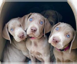 Weimaraner Puppy for sale in GAINESVILLE, FL, USA