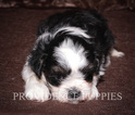Zuchon Puppy For Sale in WAYLAND, IA, USA