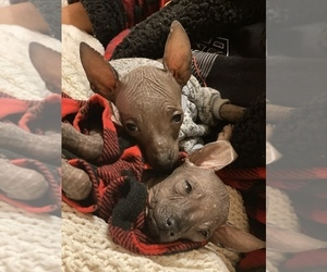 Xoloitzcuintli (Mexican Hairless) Puppy for sale in HAYWARD, CA, USA