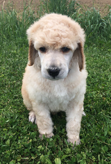 Poodle (Standard) Puppy For Sale in MINERVA, OH