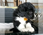 Small #10 Aussiedoodle