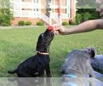 Puppy 3 Neapolitan Mastiff