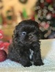 Shih Tzu Puppy For Sale in CLAY CITY, KY, USA
