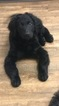 Goldendoodle Puppy For Sale in ARLINGTON, Texas,