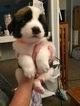 Saint Bernard Puppy For Sale in COPEMISH, MI, USA