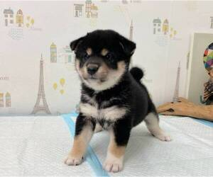 Shiba Inu Puppy for sale in MONTEREY PARK, CA, USA