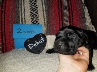 Labrador Retriever Puppy For Sale in MORRILTON, AR, USA