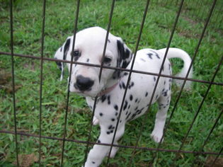Dalmatian Puppy For Sale in MULBERRY, FL, USA