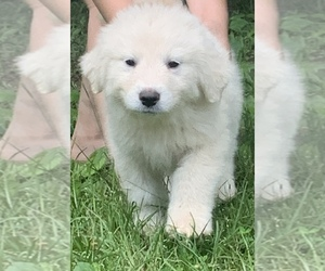 Great Pyrenees Dog for Adoption in IRON STATION, North Carolina USA