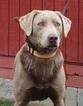 Labrador Retriever Puppy For Sale in CREWE, VA