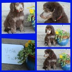 Poodle (Standard) Puppy For Sale in HOISINGTON, KS, USA