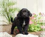 Puppy 1 Australian Retriever
