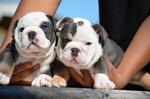 English Bulldogge Puppy For Sale in CARSON, CA