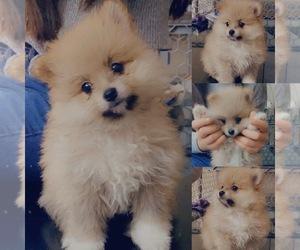 Pomeranian Puppy for Sale in CORONA, California USA