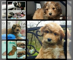 Aussiedoodle Puppy for sale in MILLVILLE, MN, USA