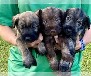 Schnauzer (Miniature) Puppy for sale in COOKEVILLE, TN, USA